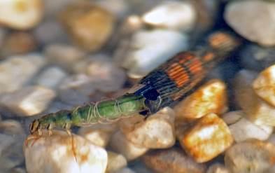 Das Makrozoobenthos, zu dem auch diese Köcherfliegenlarve gehört, soll besser vor hydraulischem Stress geschützt werden. (Bild: Andre Karwath Aka)